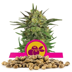 Haze Berry Bulk Seeds