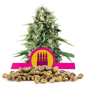 Royal AK Bulk Seeds