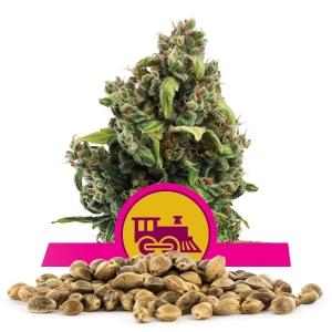 Candy Kush Express Fast Version Bulk Seeds
