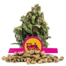 Candy Kush Express Fast Version Bulk Seeds
