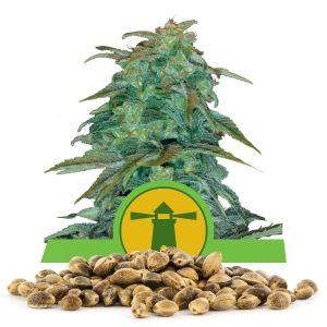 Royal Haze Automatic Bulk Seeds