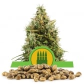 Royal AK Automatic Bulk Seeds