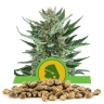 Royal Cheese Automatic Bulk Seeds