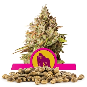 Royal Gorilla Bulk Seeds