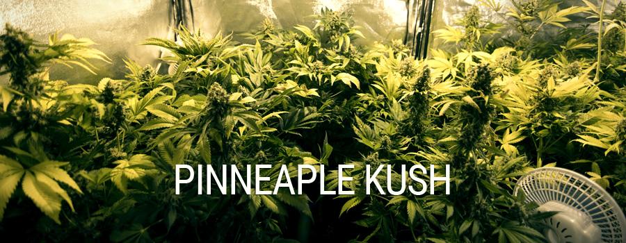 Pineapple Kush Royal Queen Seeds indoor growing