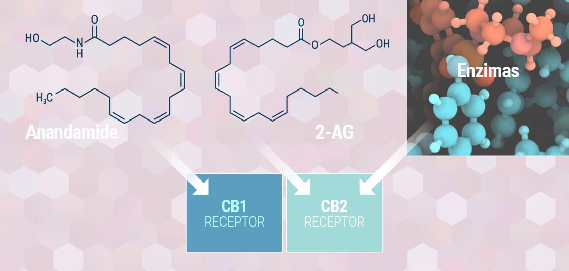 Förstå Ditt Endocannabinoid System