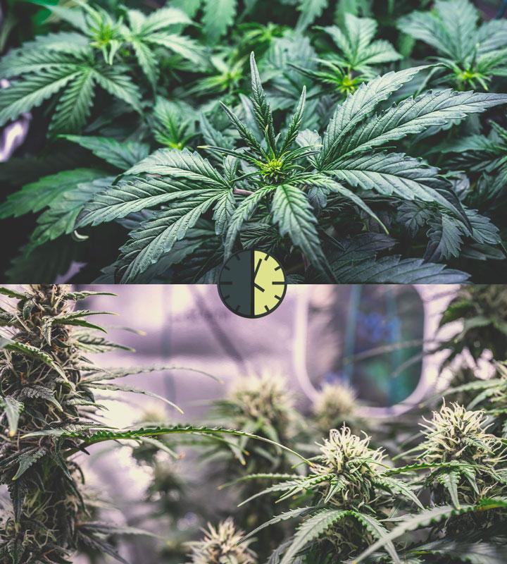 För- och nackdelarna med autoblommande cannabissorter