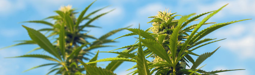 Cannabis Sativa Trees