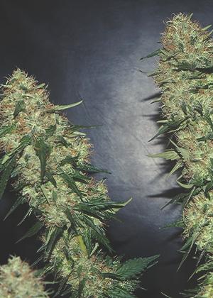 De bäst rabatterade cannabisfröna från Royal Queen Seeds