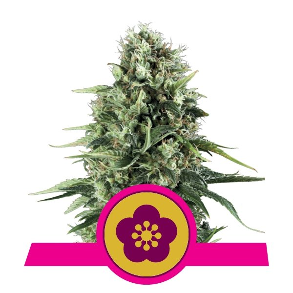 Buy Power Flower
