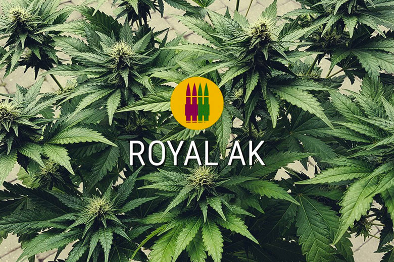 AK 47 Feminized Cannabis Seeds